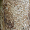 Galleries weave back and forth across the wood grain. Photo from forestryimages.org