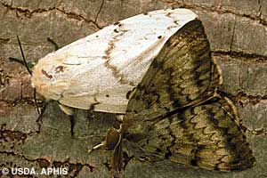 Photo of adult male and female gypsy moths