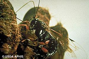 Gypsy moth parasite.