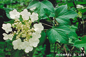 High-bush cranberry