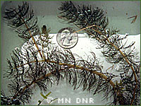 Northern watermilfoil photo