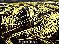 Wild rice photo