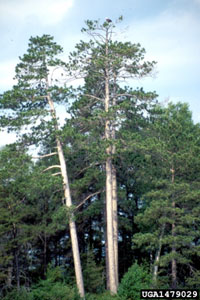 photo: Red pine from Forestry images by Steven Katovich