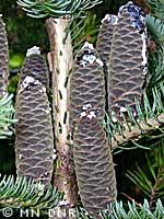 Balsam fir cones photograph; MN DNR, Rick Klevorn
