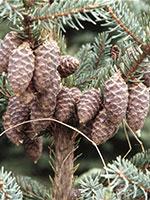 Black spruce cones photograph;  MN DNR, Rick Klevorn