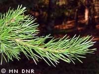 Jack pine needles photograph; ? MN DNR, Rick Klevorn