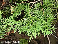 White cedar needles photograph; ?? MN DNR, Rick Klevorn