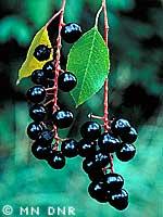 Black cherry photograph; ? MN DNR, Welby Smith
