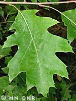 Northern red oak photograph; ? MN DNR, Rick Klevorn