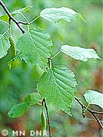 Paper birch photograph; ? MN DNR, Welby Smith