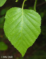 Paper birch leaf closeup photograph; ? MN DNR