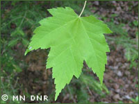 Red maple photograph; ?? MN DNR, Welby Smith