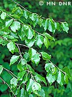 River birch photograph; ? MN DNR, Welby Smith