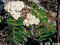 Showy mountain ash photograph; ? MN DNR, M. D. Lee