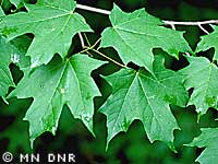 Sugar maple photograph;  MN DNR, Welby Smith