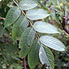 Black ash leaves