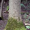 Black ash trunk