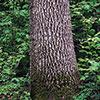 Green ash trunk