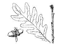White oak photograph; ? MN DNR