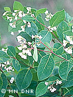 Spreading dogbane photograph; � MN DNR, Welby Smith