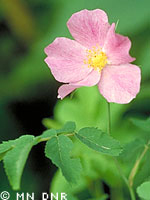 Wild rose photograph; ? MN DNR