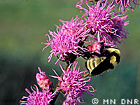 Blazing star photograph; � MN DNR