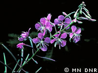 Fireweed photograph; � MN DNR, Welby Smith