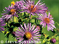 New England aster photograph