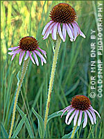 Narrow-leaved purple coneflower photograph