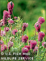 Purple prairie clover photograph