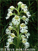 Western prairie fringed orchid photograph