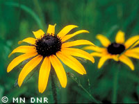 Black-eyed Susan photograph; ? MN DNR, Welby Smith
