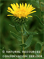 Gumweed photograph