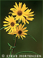 Maximilian's sunflower photograph