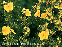 Shrubby cinquefoil photograph