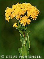 Stiff goldenrod photograph