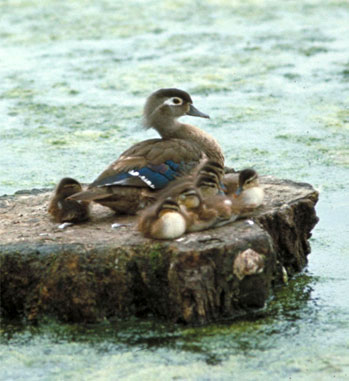 Wood Duck hen and chicks