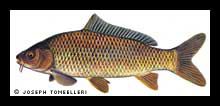 The common carp.