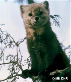 American or Pine Marten