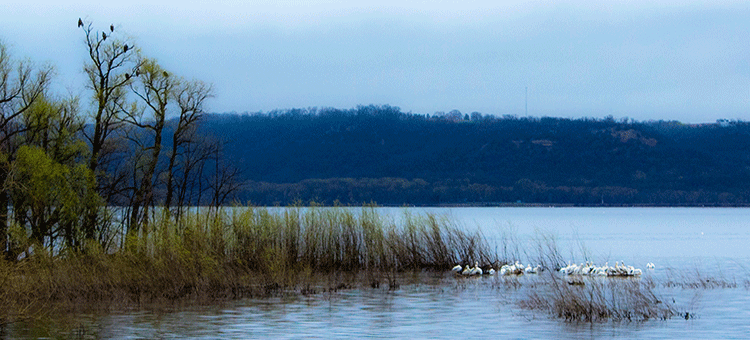 Eagles and Pelicans along lake front
