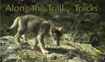 Along the Trail Tracks - wolf pup