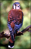 photo of the American Kestrel