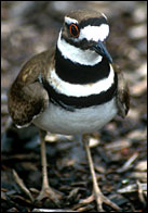 photo of the Killdeer