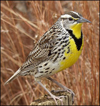 photo of the Meadowlark