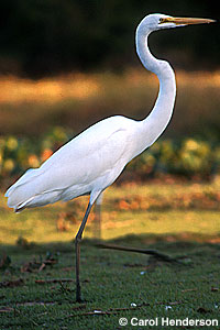 Great egret walking in marsh
