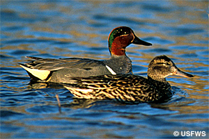 Greenwinged teal pair