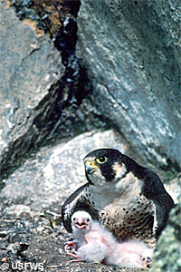 Peregrine falcon with chick