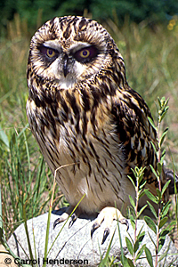 Short-earred Owl