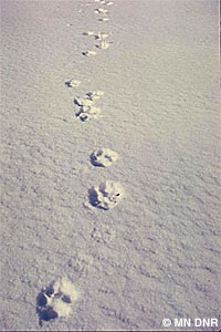 Wildlife tracks in the snow