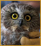 Northern Saw-Whet Owl 10-583